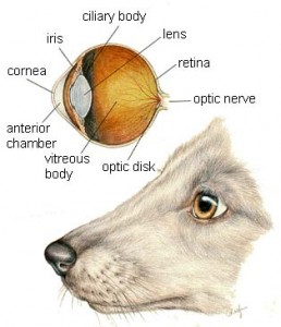 dog_eye_health
